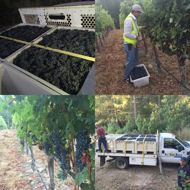 Vineyard {511} Harvest 2016