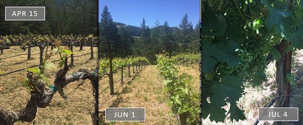 Vineyard Update - Summer 2017