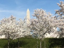 Cherry Blossom Time in Washington DC